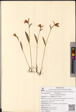 Pogonia japonica Rchb.f.