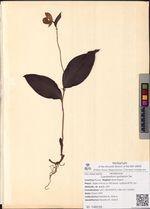 Cypripedium guttatum Sw.