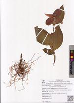 Cypripedium macranthon Sw.