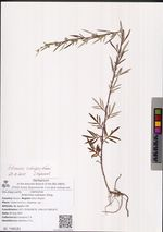 Artemisia rubripes Kitag.