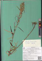 Artemisia stenophylla Kitam.