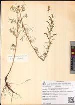 Artemisia macilenta (Maxim.) Krasch.
