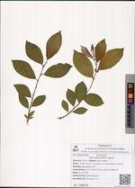 Salix abscondita Laksch.