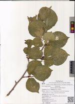 Ulmus macrocarpa Hance