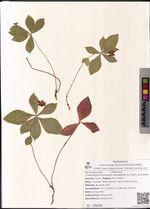 Chamaepericlymenum canadense (L.) Asch. & Graebn.