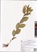 Disporum smilacinum A.Gray