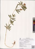 Trifolium lupinaster L.