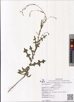 Lactuca serriola L.