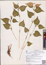 Viola acuminata Ledeb.