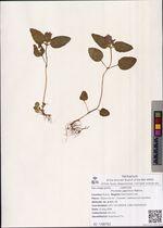 Prunella japonica Makino
