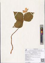 Trillium camschatcense Ker Gawl.