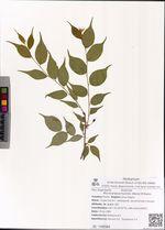 Microcerasus humilis (Moris) M.Roem.