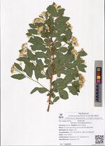 Spiraea chamaedryfolia L.