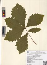Quercus crispula Blume
