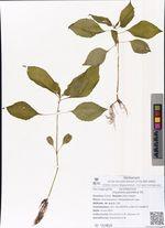 Impatiens parviflora DC.
