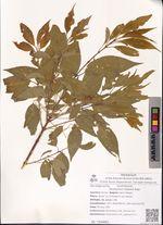 Euonymus maackii Rupr.