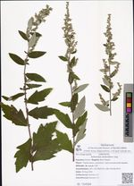 Artemisia stolonifera Ling