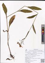 Tephroseris flammea (Turcz. ex DC.) Holub