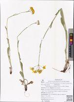 Tephroseris kirilowii (Turcz. ex DC.) Holub