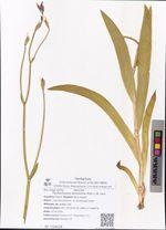 Pardanthopsis dichotoma (Pall.) L.W. Lenz