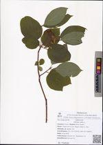 Cornus alba L.