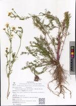 Tripleurospermum perforatum  (Merat) M.Lainz