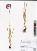 Allium senescens L.