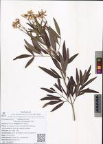 Clematis hexapetala Pall.