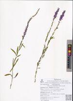Veronica linariifolia Pall. ex Link