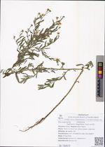Kalimeris integrifolia Turcz. ex DC.