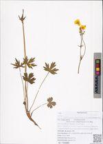 Ranunculus propinquus C.A. Mey.