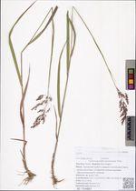 Calamagrostis amurensis Prob.