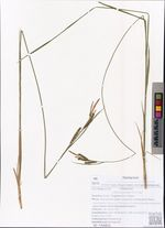 Carex juncella Th. Fries