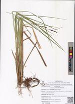 Carex schmidtii Meinsh.