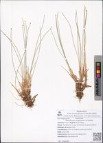 Baeothryon cespitosum (L.)A.Dietr.