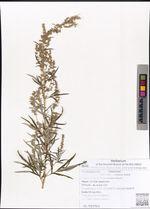 Artemisia rubripes Nakai