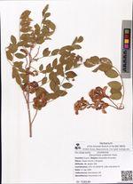 Glycyrrhiza uralensis Fisch.