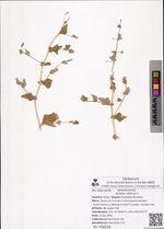 Atriplex sibirica L.