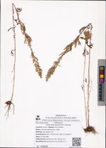 Artemisia desertorum Spreng.