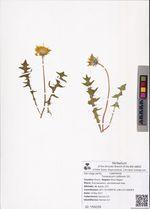 Taraxacum collinum DC.
