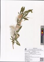 Salix udensis Trautv. & C.A.Mey.