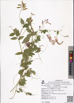 Vicia pseudorobus Fisch. & C.A.Mey.