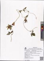 Codonopsis ussuriensis (Rupr. & Maxim.) Hemsl.