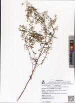 Artemisia gmelinii Weber ex Stechm.