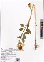 Helianthus lenticularis Hort.