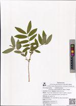 Lonicera maximowiczii (Rupr.) Regel