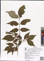 Lonicera chrysantha Turcz. ex Ledeb.