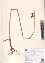 Scirpus triqueter L.