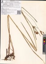 Bolboschoenus yagara (Ohwi) A.E.Kozhevnikov