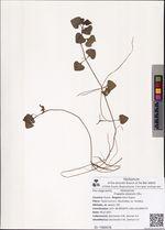 Trapella sinensis Oliv.